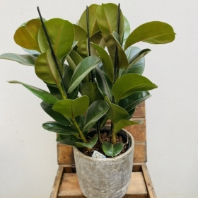 Ficus Robusta, rubber plant