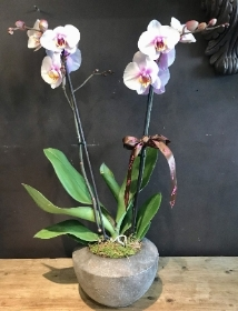 Orchid Bowl planter in Pink